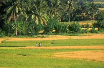 Sri Lanka, Nergalla, campos de arroz, cosecha