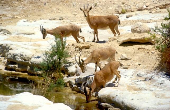 Israel, desierto del Negev,cabras salvajes, animal