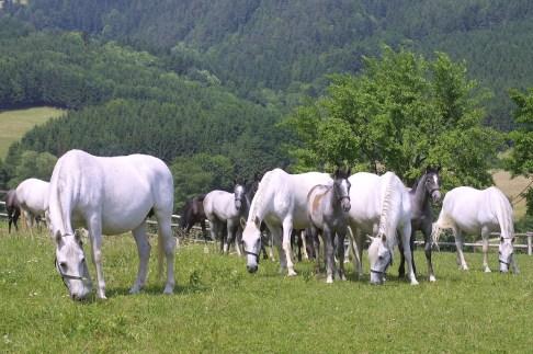 Austria, Estiria, Piber, Caballo Lippizano