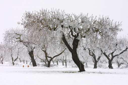 Pla D'Urgell, Mollerusa, árbol