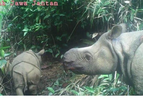 явански носорог
