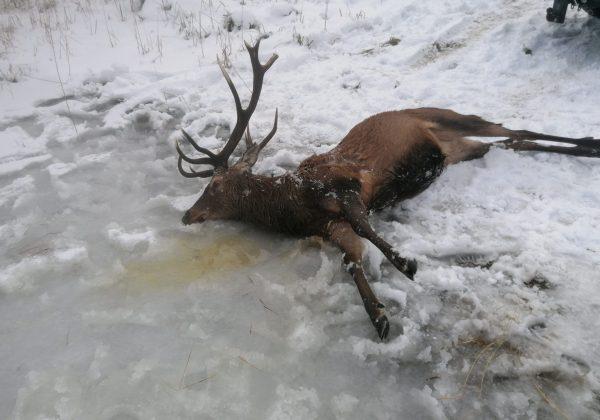 мъртъв елен