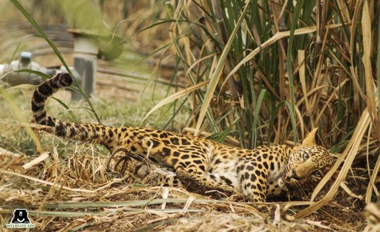 леопард в капан