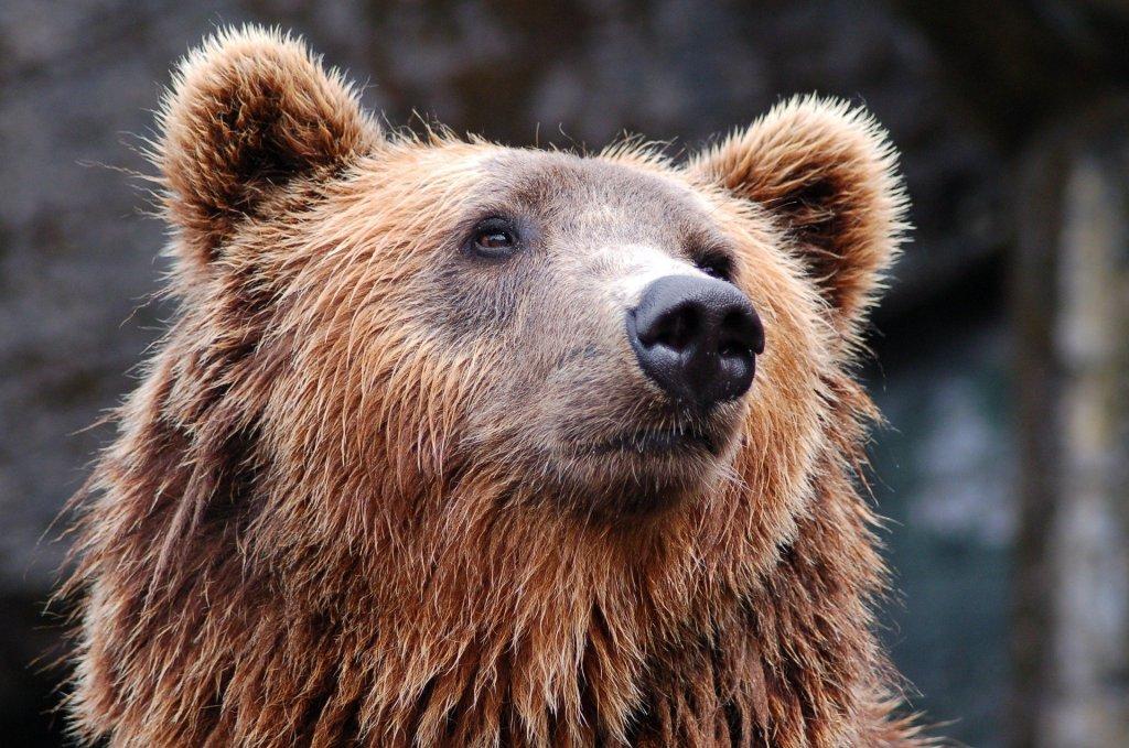 мечка гризли
