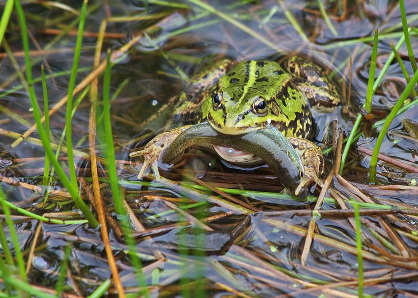 Żabka z rybką w pyszczku