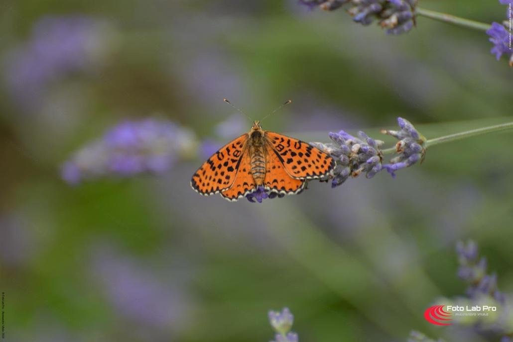 Farfalla su Lavanda
