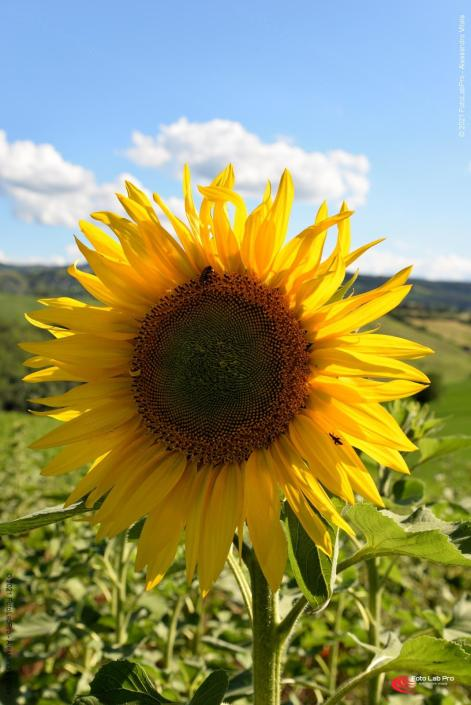 Girasole in valle