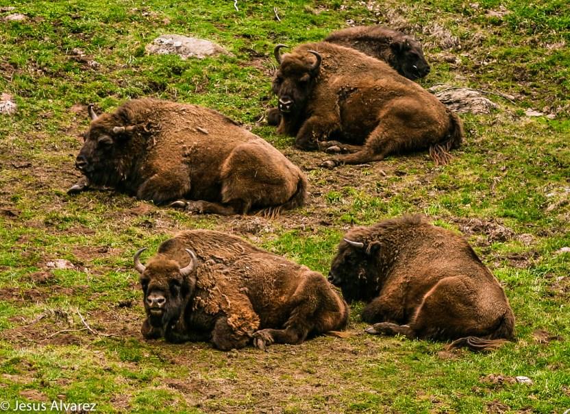 bisontes en Lacuniacha