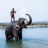 En el parque de Chitwan, en Nepal, se pueden hacer safaris por la jungla a lomos de un elefante. Todas las mañanas sus cuidadores los bañan en el río. Cada adiestrador se encargará de sólo un elefante, durando esta relación casi toda la vida, hasta que uno de los dos muera.