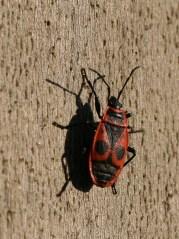 Le gendarme, appelé aussi « suisse », « cordonnier », « soldat », « masques-nègres » ou encore « diable cherche-midi » en raison de son attirance pour le soleil au zénith, est un insecte hémiptère de la famille des Pyrrhocoridae. Il porte le nom scientifique français de pyrrhocore, soit « punaise rouge ». Son nom scientifique est Pyrrhocoris apterus
