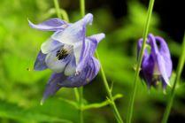 kwiaty Kaukazu