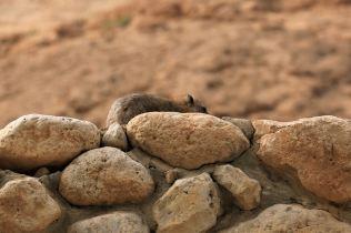 Rezerwat Ein Gedi - góralka syryjska