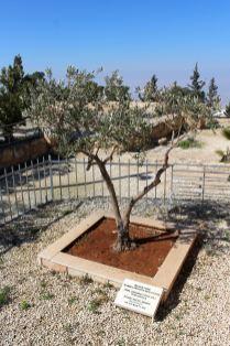 Gróa Nebo -= drzewko oliwne posadzone prze Papieża Jana Pawła II