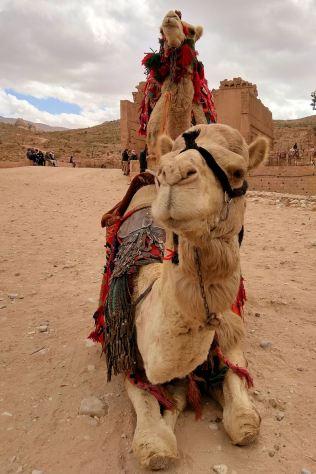Petra - wielbłady