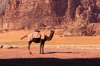 Wadi Rum - wielbłądy