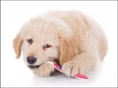 Ensinar desde filhote a escovar os dentes, evita que quando mais velho reclame da escovação. (Foto: Reprodução/dogwoodvethospital)