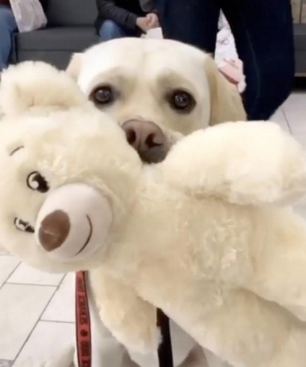 Mushu, o cão labrador com o brinquedo escolhido. (Foto: Instagram/service.dog.mushu)