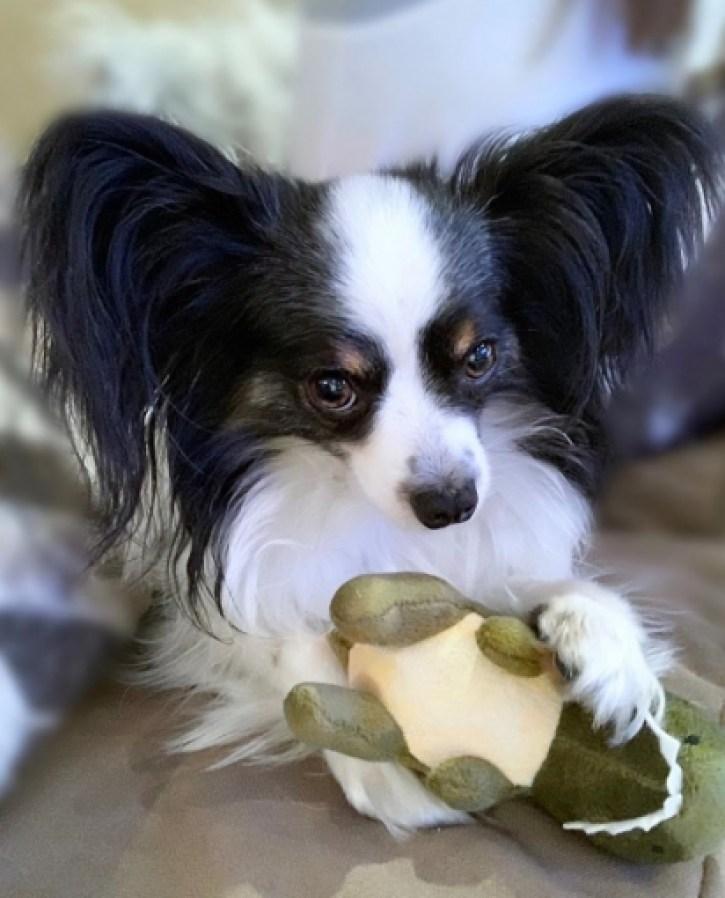 Os cães se distraem facilmente com brinquedos. (Foto: Instagram/patrick_the_papillon)