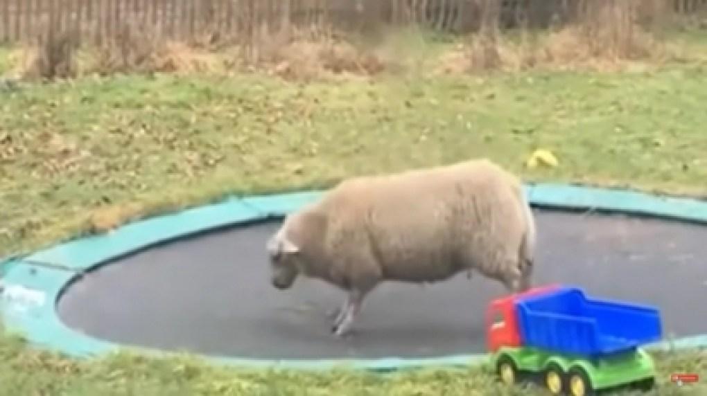 A família resolveu adotar uma ovelha. (Foto: Reprodução Youtube/Aww Network)