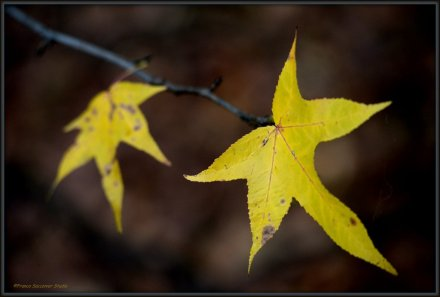 foglie d'acero...
