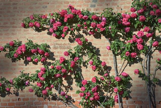 Nel mese di maggio le rose fanno la loro prima fioritura annuale. E' il momento migliore per ammirarle.
