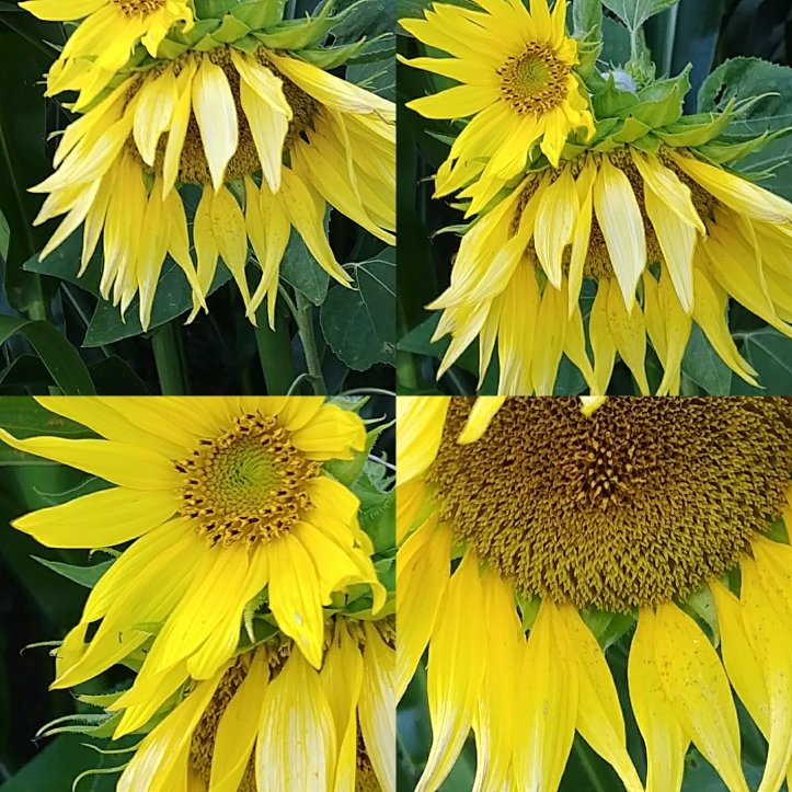 I made a sunflowers collage for youö