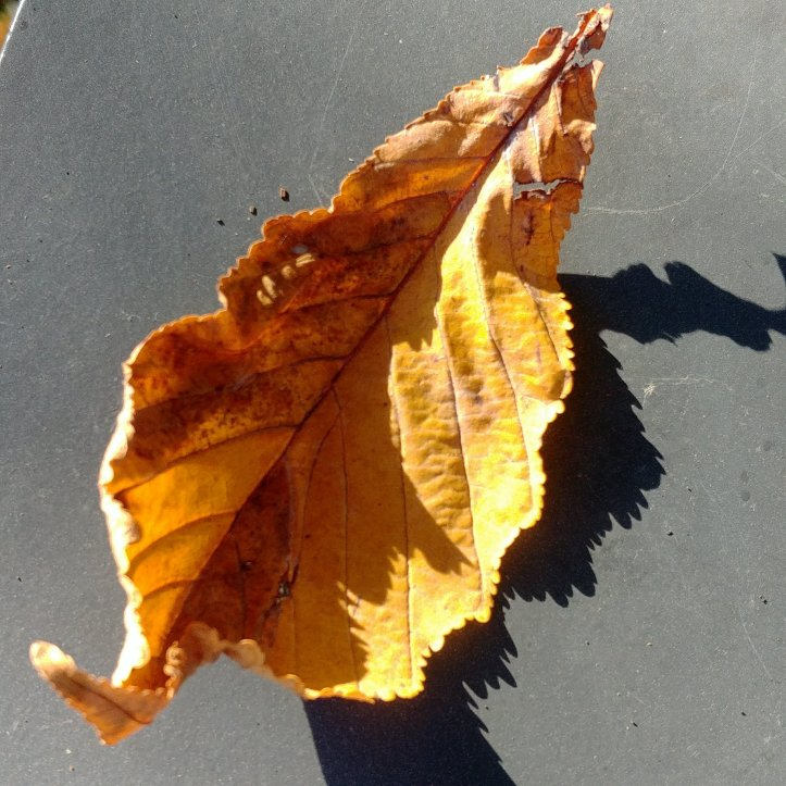 A yellow autumn leaf producing a funny shadow