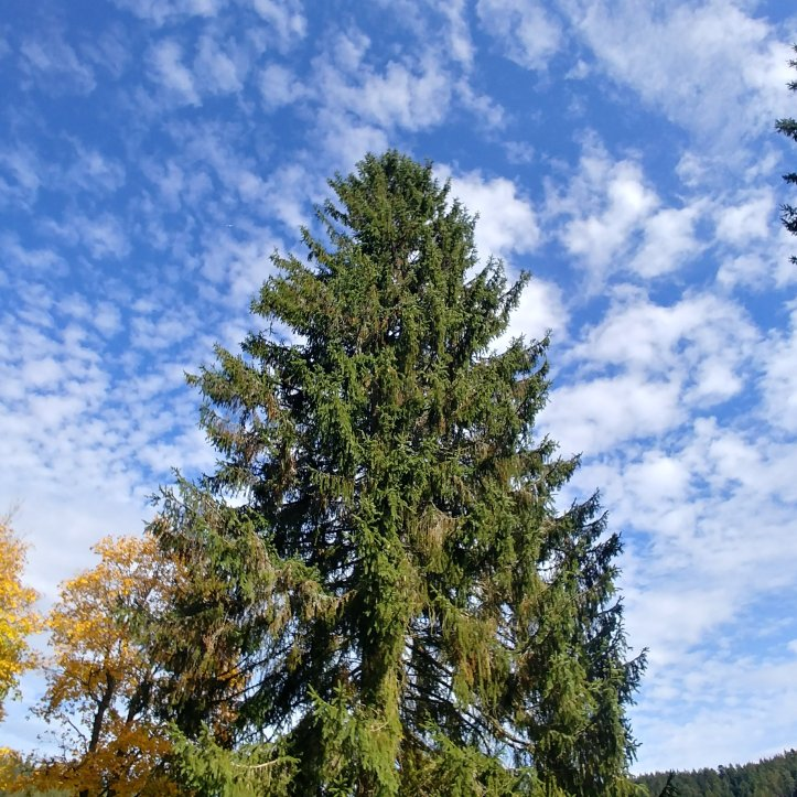 There are many evergreen fir trees in Switzerland and Germany