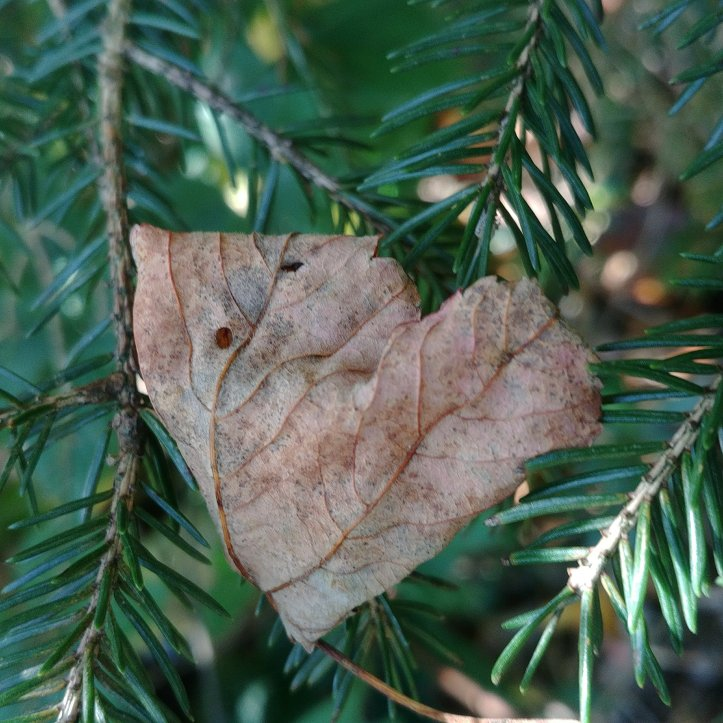 A heartshaped fall leaf on evergreen needles.