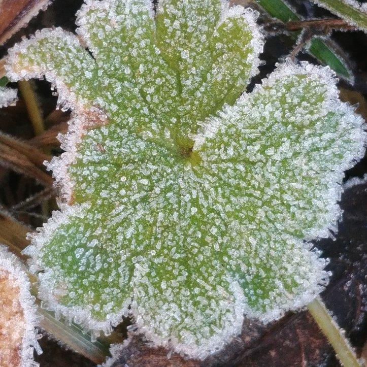 Rime ice on green plant