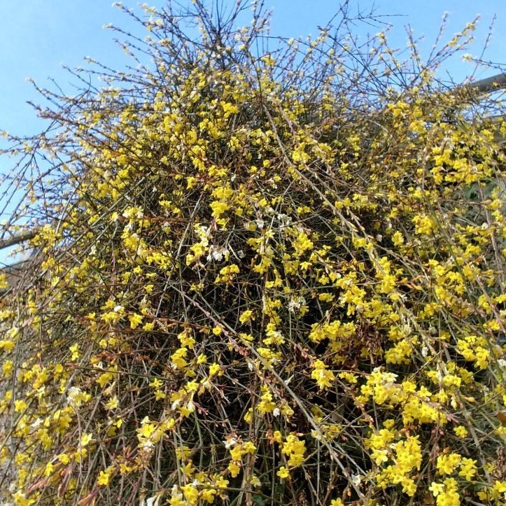 Winter jasemine blooming in january