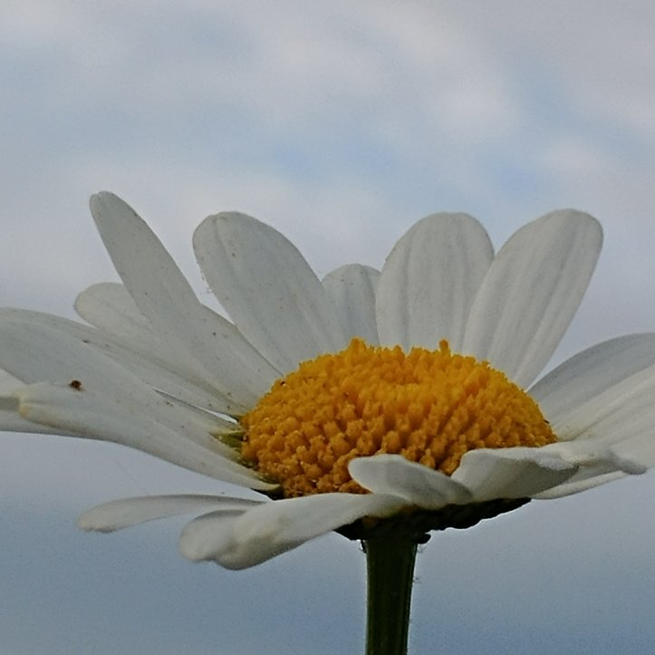 White and yellow daisy in blue sky, flower photo by fotosbykarin