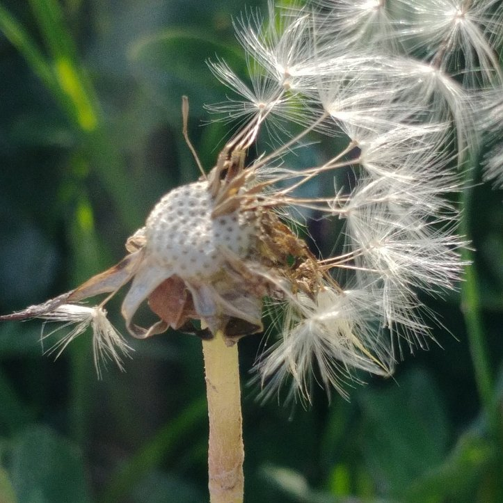 White dandelion with single seeds, nature ph9 by fotosbykarin