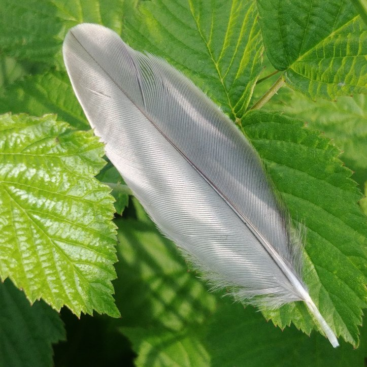 Cute gray feather on green leaves