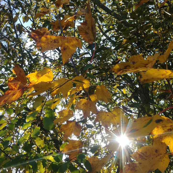 Yellow fall leaves and sunshine, nature photo by fotosbykarin