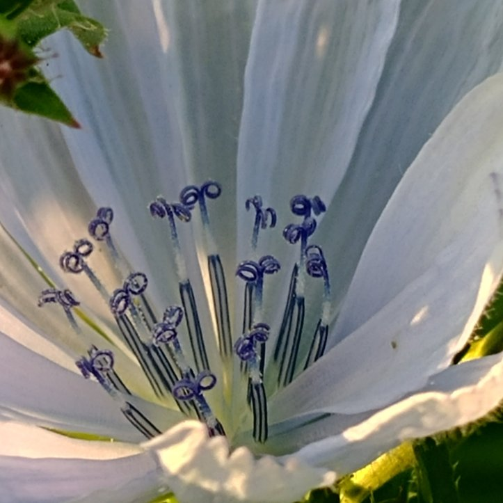 White and blue wildflower, macro photo by fotosbykarin