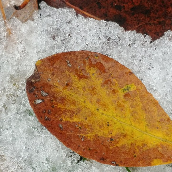 Brown and yellow fall leaf on white snow, nature photo by fotosbykarin