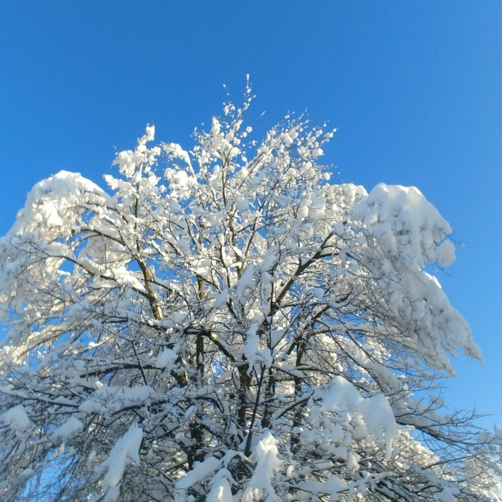 White snow trees and blue sky, nature photo by fotosbykarin