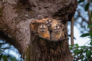 tres monos sen su nido sobre tronco de árbol