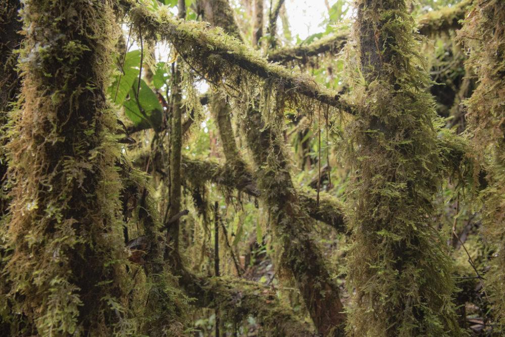 bosque musgoso