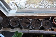 neue Tomatenpflanzen