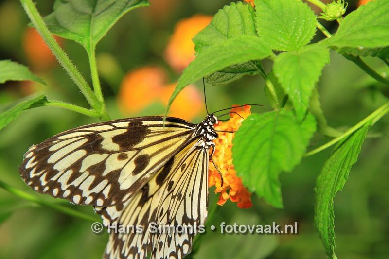 160626_002_Vlinders_aan_de_Vliet