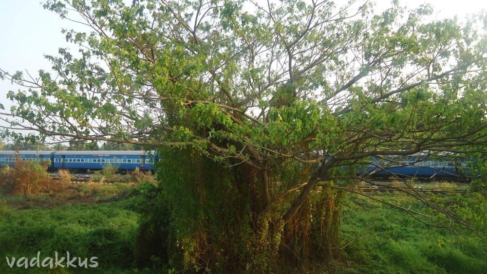 Nature thrives at Ernakulam Junction/Town Railway stations outer.