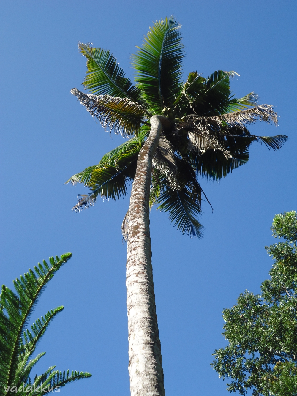 A Coconut tree against a bright blue sky in Kerala