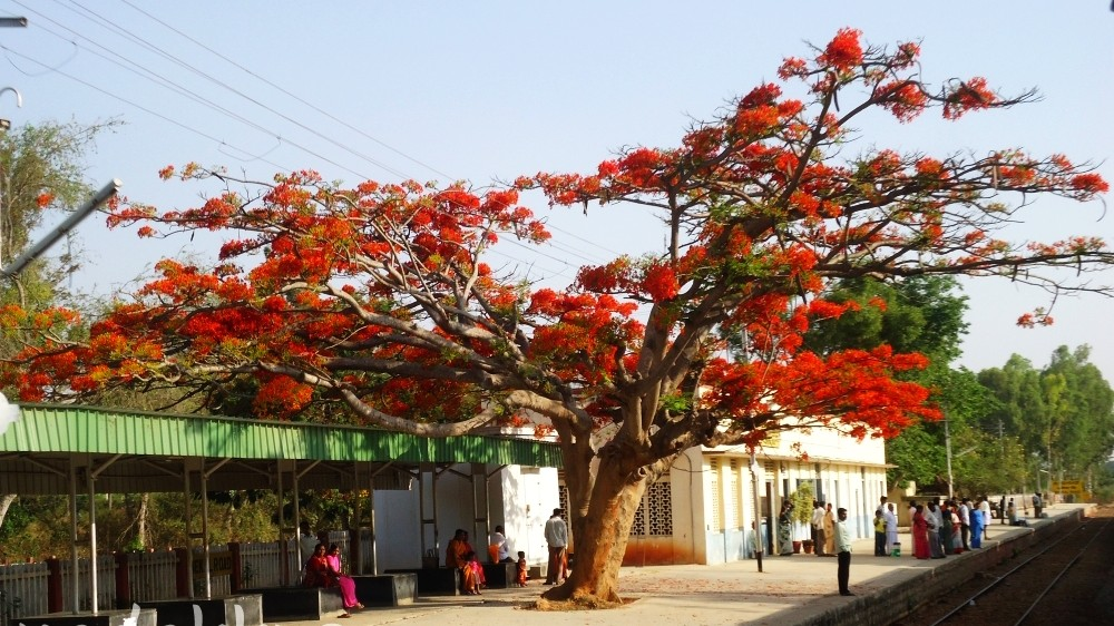 A Gulmohar tree in full bloom on the platfomr at Anekal Railway Station near Bangalore
