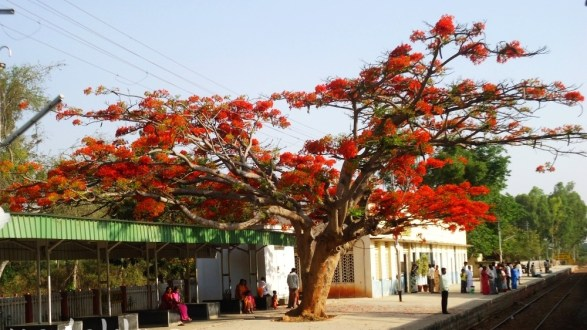 A Gulmohar Tree in Full Bloom on a Railway Platform!