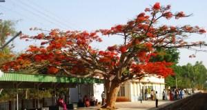 A Gulmohar tree in full bloom on the platfomr at Anekal Railway Station near Bangalore