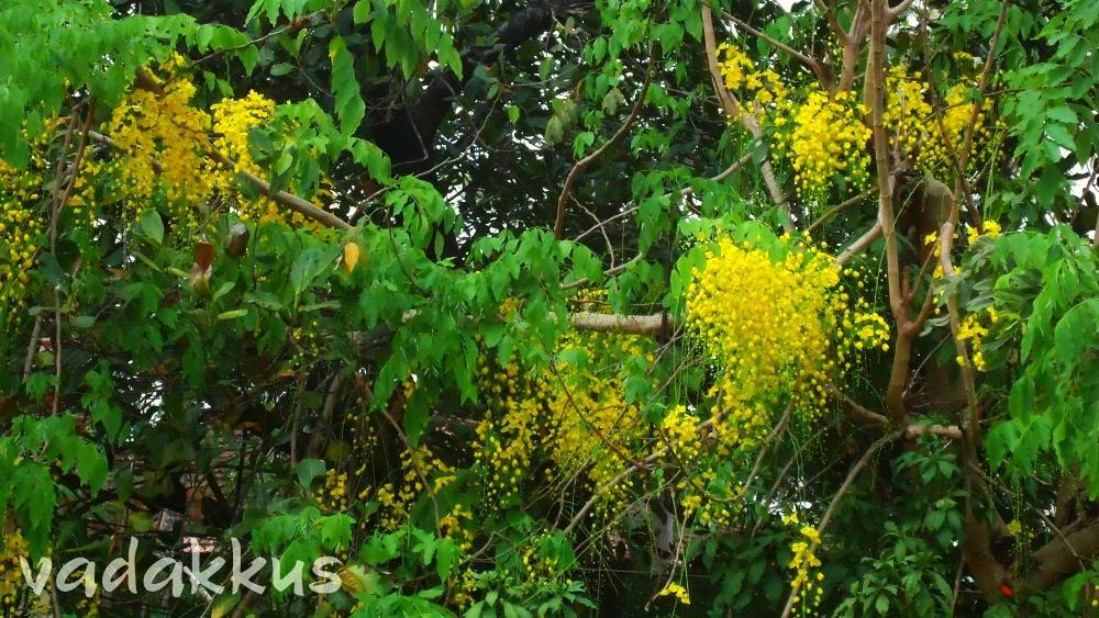 Pleasant Yellow KaniKonna Flowers for Vishu, in Kerala