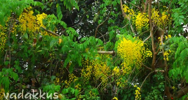 Pleasant Yellow KaniKonna Flowers for Vishu, in Kerala