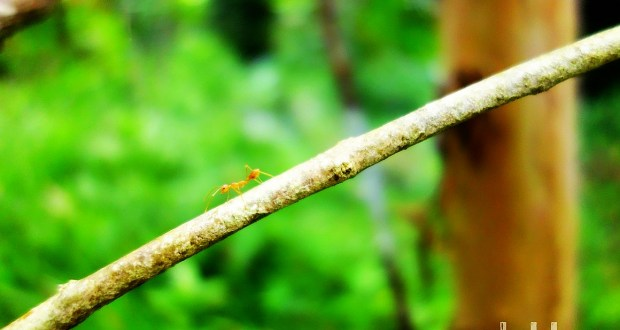 "A ""NeeR"" ant walking along a Branch of a Twig"